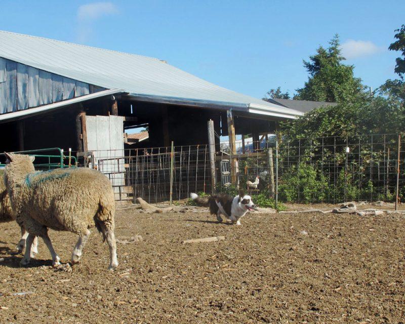 Pilot flanks sheep stockyard